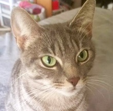 [picture of Savannah, a Domestic Short Hair silver\ cat]