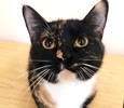 A picture of #ET03126: Zara a Domestic Short Hair calico