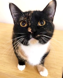 [another picture of Zara, a Domestic Short Hair calico\ cat]