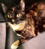 [picture of Zara, a Domestic Short Hair calico cat]