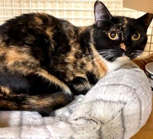 [picture of Zara, a Domestic Short Hair calico\ cat]