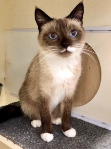 [another picture of Koa, a Siamese snowshoe\ cat]