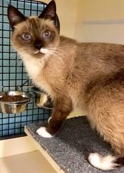 [picture of Koa, a Siamese snowshoe cat]