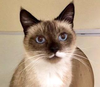 [picture of Koa, a Siamese snowshoe\ cat]