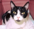 A picture of #ET03128: Dennie a Domestic Short Hair black/white