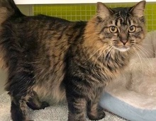 [picture of Wiggy, a Maine Coon-x gray tabby\ cat]