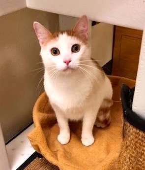 [another picture of Patches, a Domestic Short Hair orange/white\ cat]