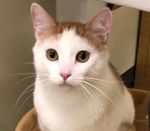 A picture of #ET03132: Patches a Domestic Short Hair orange/white
