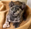 A picture of #ET03133: Snazzy a Hemmingway Polidactyl dilute tortie