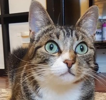 [picture of Kiki, a Domestic Short Hair brown tabby/white\ cat]