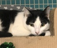 A picture of #ET03135: Kierra a Domestic Short Hair black/white