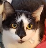 A picture of #ET03136: Ms Mochia a Domestic Short Hair black/white