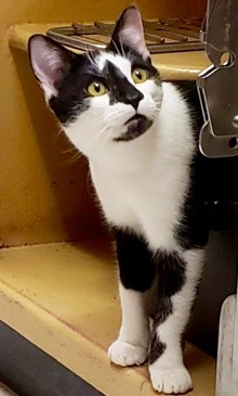 [another picture of Ms Mochia, a Domestic Short Hair black/white\ cat]
