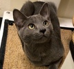 A picture of #ET03137: Hunter Blue a Russian Blue Mix blue