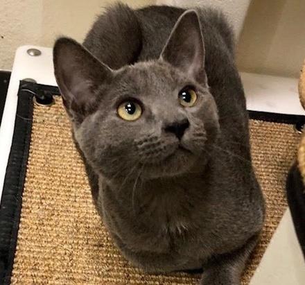 [picture of Hunter Blue, a Russian Blue Mix blue\ cat]
