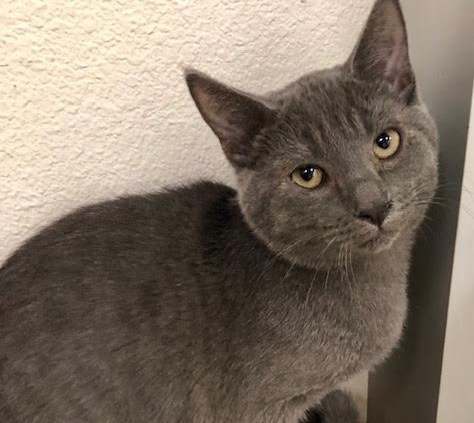 [picture of Theo Blue, a Russian Blue Mix blue\ cat]
