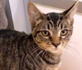 A picture of #ET03139: Milo a Domestic Short Hair gray tabby