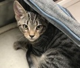 A picture of #ET03140: Heidi a Domestic Short Hair gray tabby