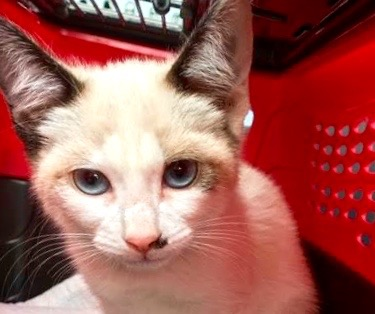 [picture of Lola, a Siamese snowshoe\ cat]