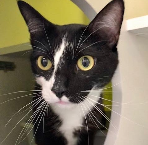 [picture of Blitz, a Domestic Short Hair black/white\ cat]