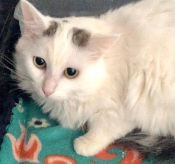 [picture of Shaylie, a Turkish Van Mix white/gray\ cat]