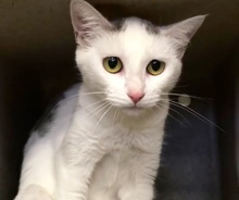 [picture of Sheena, a Turkish Van Mix white/black\ cat]