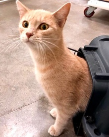 [another picture of Caressa, a Domestic Short Hair orange\ cat]