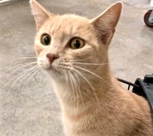 [picture of Caressa, a Domestic Short Hair orange\ cat]