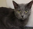 A picture of #ET03148: Tonga a Russian Blue Mix blue