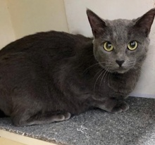 [picture of Tonga, a Russian Blue Mix blue cat]