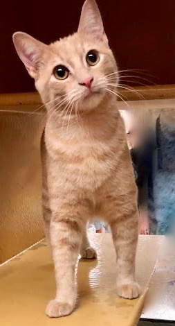 [another picture of Little Thor, a Domestic Short Hair orange\ cat]