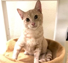 [picture of Little Thor, a Domestic Short Hair orange\ cat]