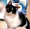 A picture of #ET03151: Ironman a Domestic Short Hair black/white