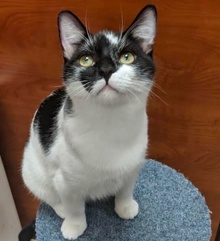 [another picture of Ironman, a Domestic Short Hair black/white\ cat]