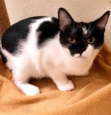 [picture of Ironman, a Domestic Short Hair black/white\ cat]