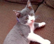 [picture of Ball, a Domestic Short Hair blue/white\ cat]