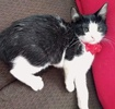 A picture of #ET03153: Bat a Domestic Short Hair black/white