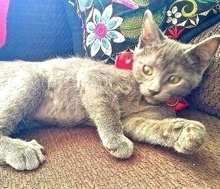 [picture of Glove, a Domestic Short Hair blue\ cat]