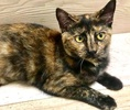 A picture of #ET03157: Carley a Domestic Short Hair tortie