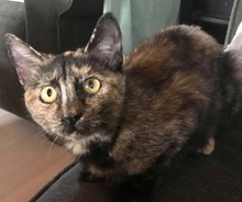 [another picture of Carley, a Domestic Short Hair tortie\ cat]