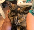 [picture of Carley, a Domestic Short Hair tortie cat]