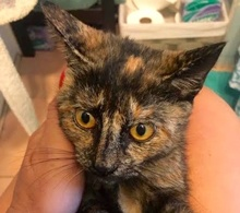 [picture of Carley, a Domestic Short Hair tortie\ cat]