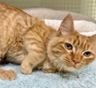 A picture of #ET03158: Jerry Lee a Domestic Long Hair orange