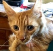 [picture of Jerry Lee, a Domestic Long Hair orange cat]
