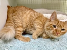 [picture of Jerry Lee, a Domestic Long Hair orange\ cat]