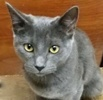 A picture of #ET03159: Avery a Russian Blue Mix blue