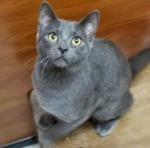 [another picture of Avery, a Russian Blue Mix blue\ cat]