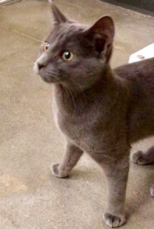 [picture of Avery, a Russian Blue Mix blue cat]