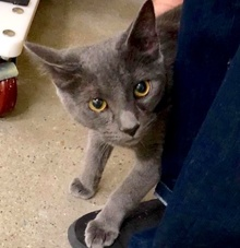 [picture of Avery, a Russian Blue Mix blue\ cat]