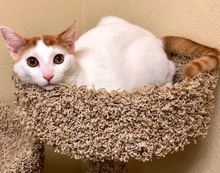 [another picture of Duman, a Turkish Van Mix white/orange\ cat]